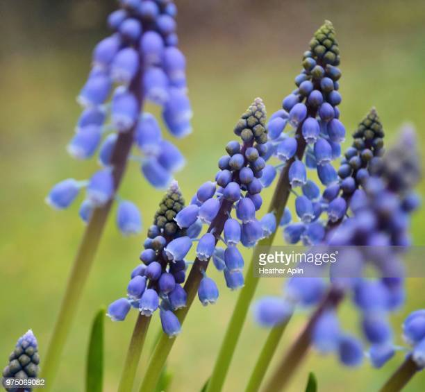 close-up of muscari - grape hyacinth stock pictures, royalty-free photos & images