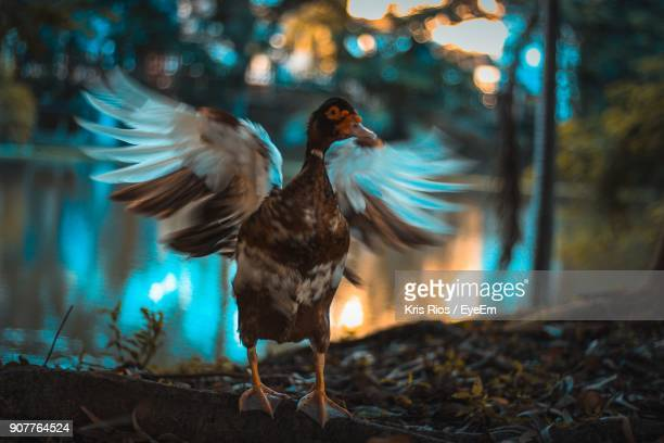 close-up of muscovy duck flapping wing - muscovy duck stock pictures, royalty-free photos & images