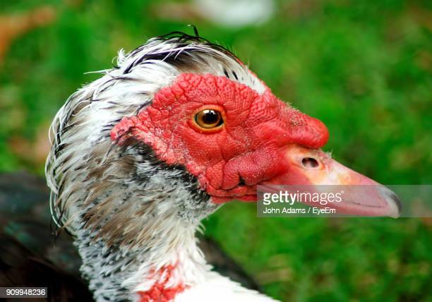 close-up of muscovy duck - muscovy duck stock pictures, royalty-free photos & images
