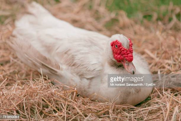 close-up of muscovy duck resting in nest - muscovy duck stock pictures, royalty-free photos & images