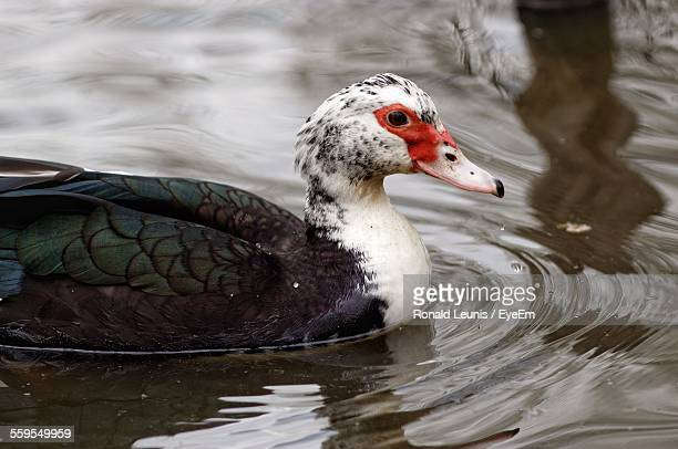 close-up of muscovy duck swimming on lake - muscovy duck stock pictures, royalty-free photos & images