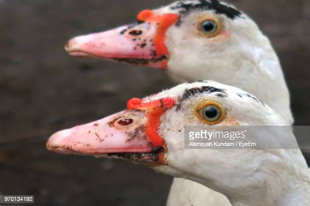 close-up of muscovy ducks - muscovy duck stock pictures, royalty-free photos & images