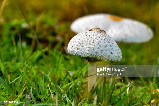close-up of mushroom growing on field - lawn stock pictures, royalty-free photos & images