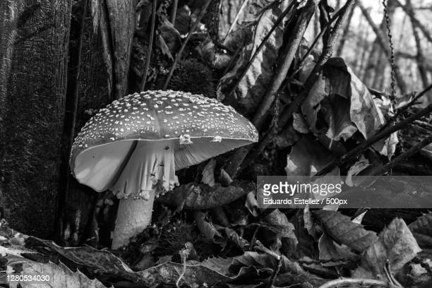 close-up of mushroom growing on field,extremadura,spain - blanco y negro stock pictures, royalty-free photos & images