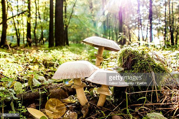 Close-Up Of Mushrooms Growing On Field At Forest