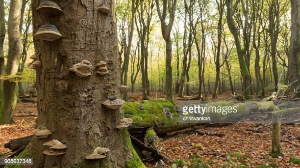 Close-up of mushrooms growing on trees, Speulderbos, Ermelo, Gelderland, Holland
