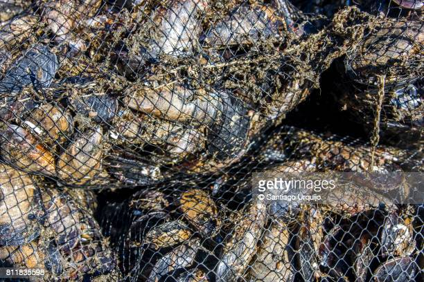 Close-up of mussels on fishing net