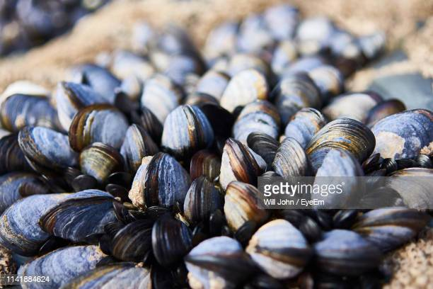 close-up of mussels on rocks - mussel stock pictures, royalty-free photos & images