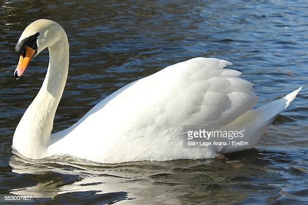 Close-Up Of Mute Swan Floating On Water