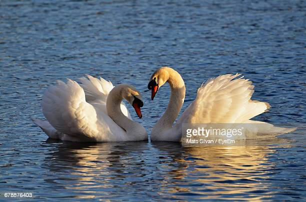 Close-Up Of Mute Swans In Lake