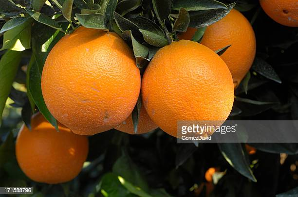 close-up of navel oranges ripening on tree - navel orange stock photos and pictures