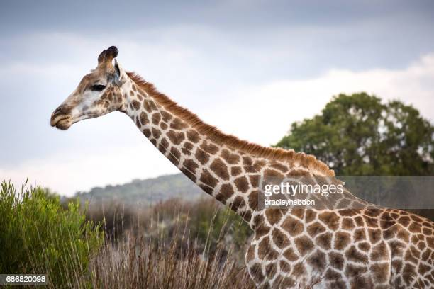 Close-up of neck and head of female Giraffe