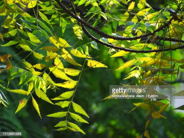 close-up of neem leaves against blurred background - neem tree stock pictures, royalty-free photos & images