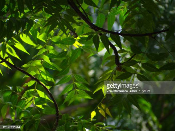 close-up of neem leaves on tree - neem tree stock pictures, royalty-free photos & images