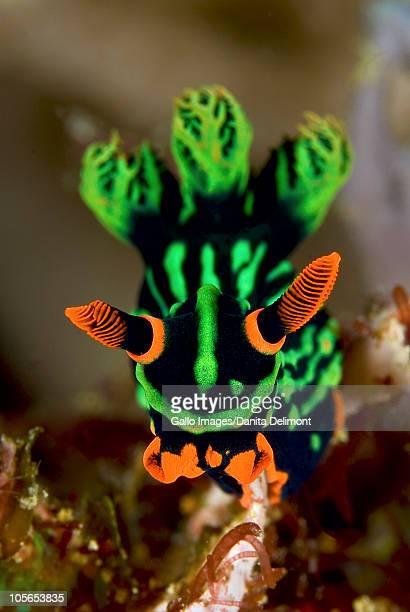 Close-up of Nembrotha nudibranch, Triton Bay, Fak Fak, Papua, Indonesia