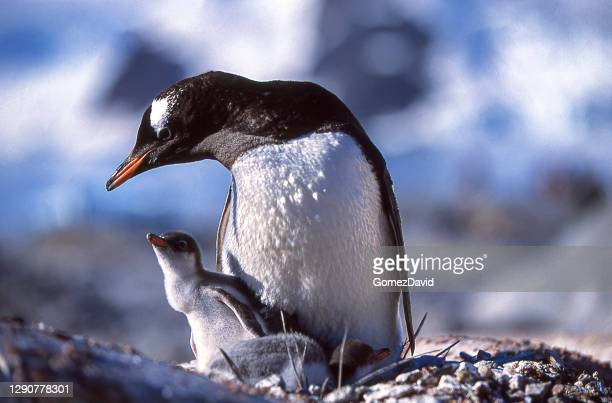 close-up of nesting wild gentoo penguin mother and baby chicks - threatened species stock pictures, royalty-free photos & images