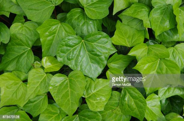 Close-up of new ivy leaves in spring