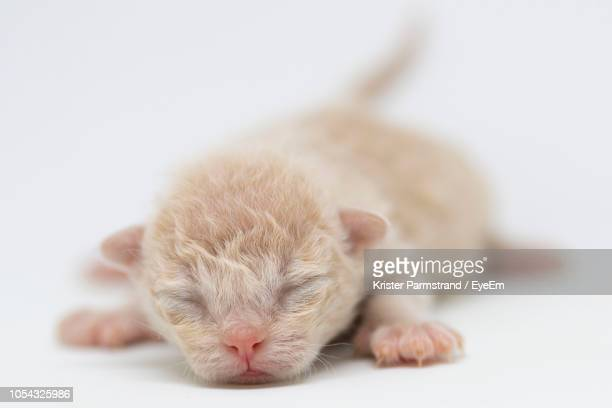 close-up of newborn cat sleeping on white background - gattini appena nati foto e immagini stock