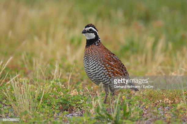 close-up of northern bobwhite on field - quail bird stock photos and pictures
