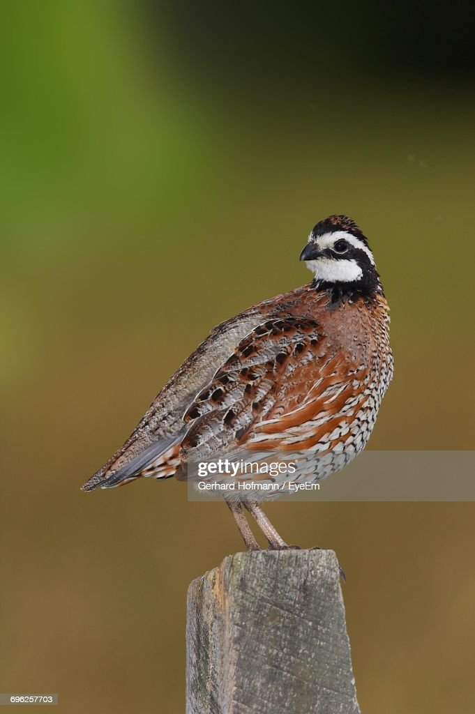 Close-Up Of Northern Bobwhite Perching On Wooden Post : Stock Photo