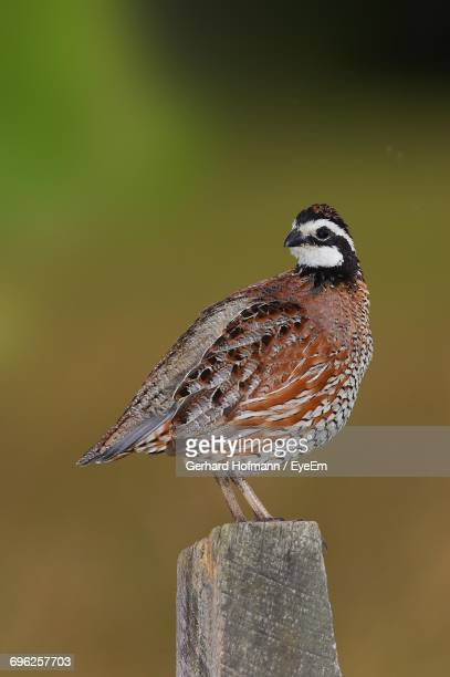 close-up of northern bobwhite perching on wooden post - quail bird stock photos and pictures