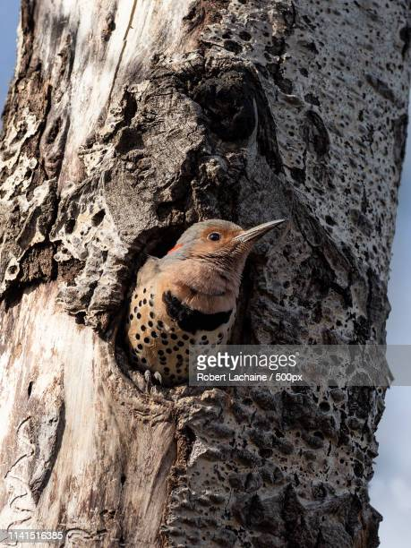 close-up of northern flicker in hole in tree - flicker stock pictures, royalty-free photos & images