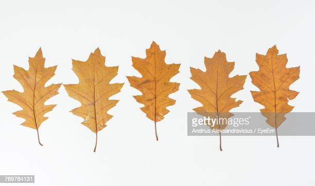 Close-Up Of Oak Leaves Against White Background