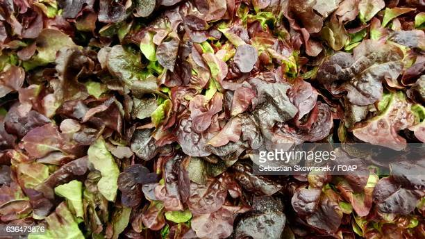 Close-up of oakleaf lettuce