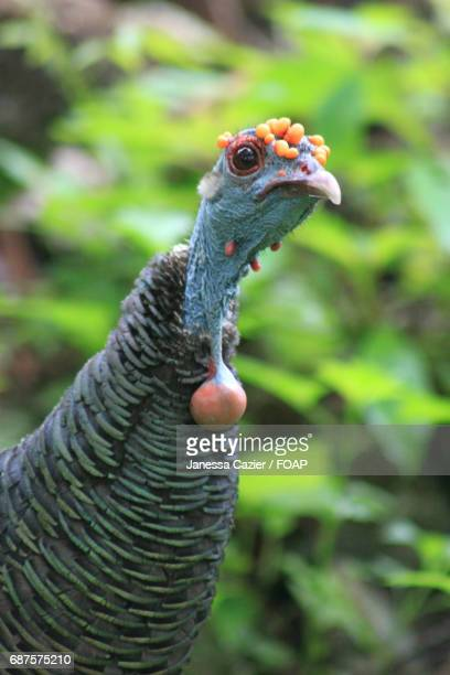 Close-up of ocellated turkey