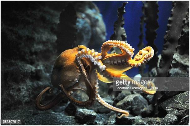 close-up of octopus against stones - octopus stock pictures, royalty-free photos & images