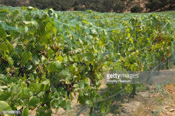close-up of of grapevines with bunches of ripening grapes as seen through protective netting - timothy hearsum - fotografias e filmes do acervo