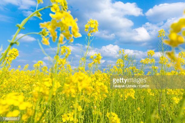 close-up of oilseed rape field against cloudy sky - brassica stock photos and pictures