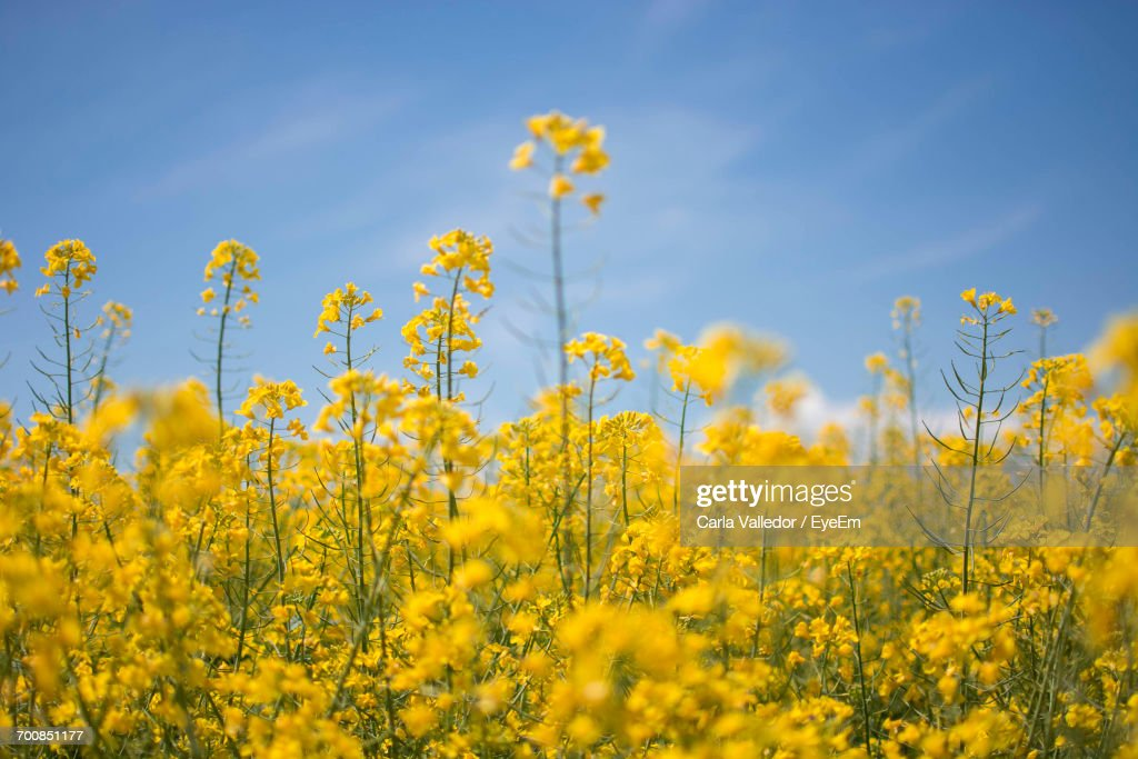 Close-Up Of Oilseed Rape Field Against Sky : Stock Photo