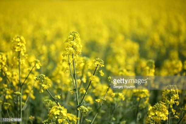 close-up of oilseed rape field - キャノーラ ストックフォトと画像