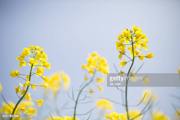 close-up of  oilseed rape flower against blue sky - yangzhou foto e immagini stock