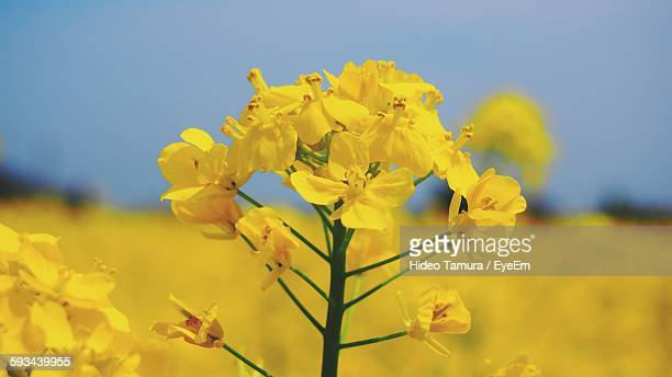 Close-Up Of Oilseed Rape Flower Blooming At Field