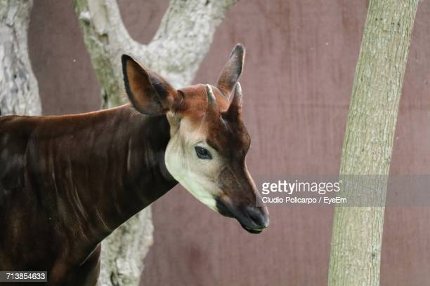 close-up of okapi in zoo - okapi stock pictures, royalty-free photos & images