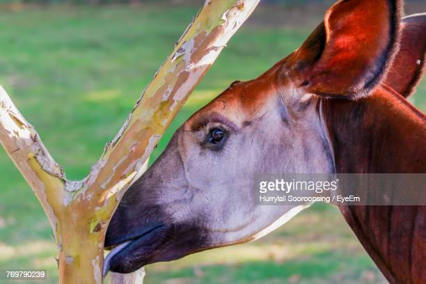 close-up of okapi - okapi stock pictures, royalty-free photos & images