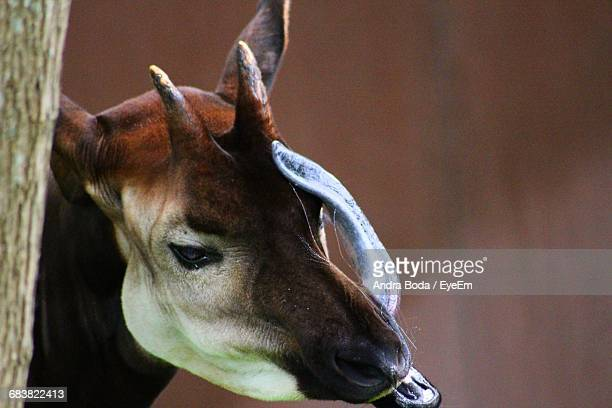 close-up of okapi sticking out tongue in zoo - okapi stock pictures, royalty-free photos & images