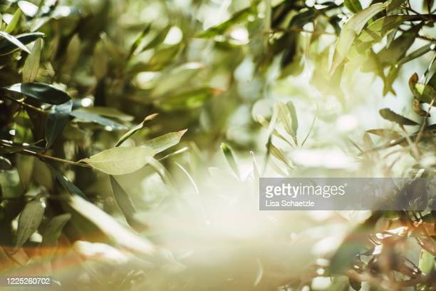 close-up of oleander leaves, full frame - mediterranean sea stock pictures, royalty-free photos & images