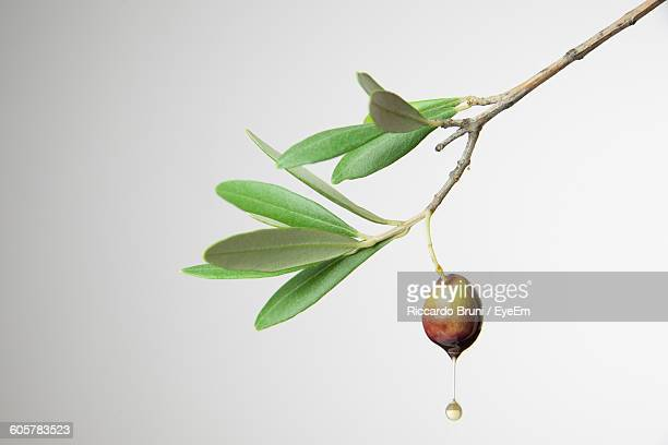 Close-Up Of Olive Oil Falling From Tree Against White Background