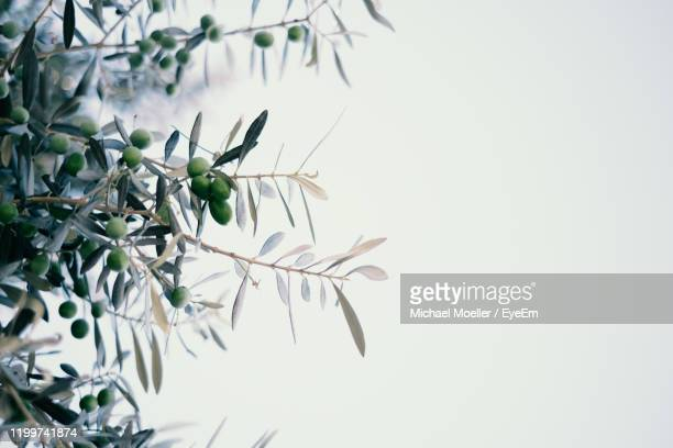 close-up of olive plant against white background - オリーブ ストックフォトと画像