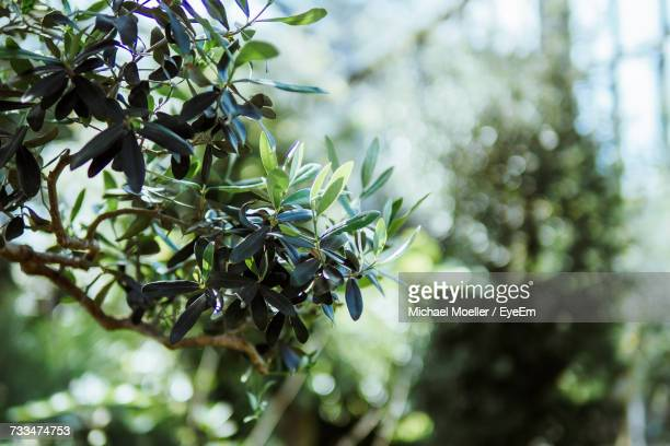 Close-Up Of Olive Trees Growing On Sunny Day