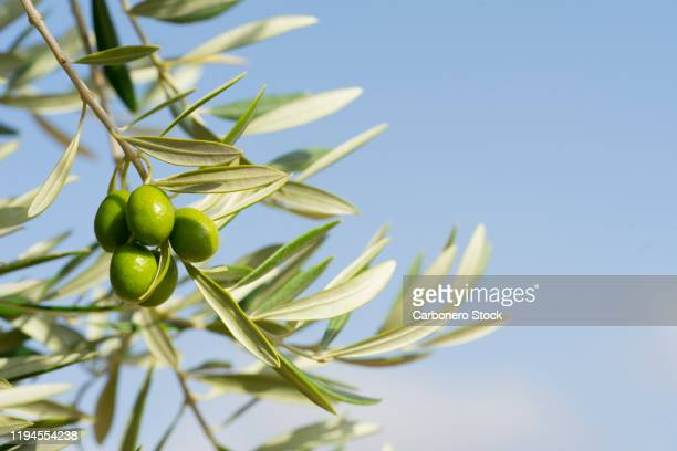 close-up of olives growing on tree - small group of objects stock pictures, royalty-free photos & images