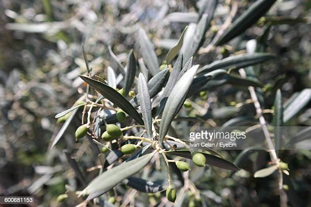 Close-Up Of Olives Growing On Tree
