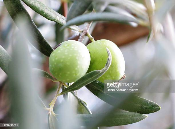 Close-Up Of Olives Growing Outdoors