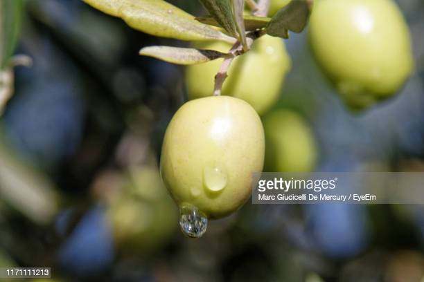 close-up of olives hanging on tree - olive tree stock pictures, royalty-free photos & images