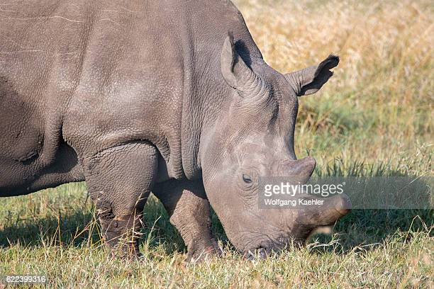 Closeup of one of the last three surviving northern white rhinoceros or northern squarelipped rhinoceros in the world which are critically endangered...