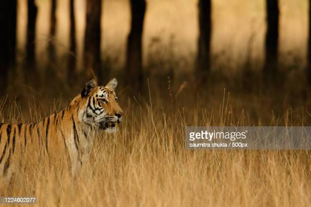 close-up of one tiger, durgapur, india - images stock pictures, royalty-free photos & images