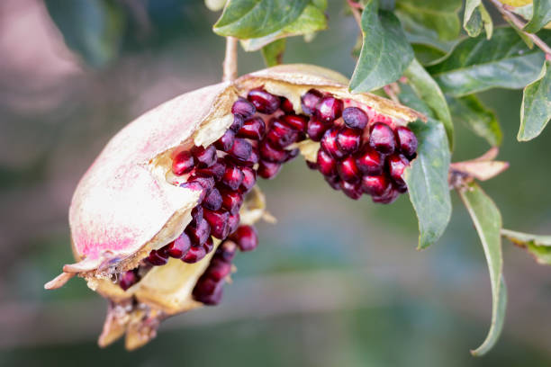 close-up of open pomegranate on tree - pomegranate tree stock photos and pictures